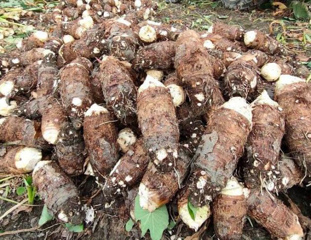 鮮採上芋(未削皮) 2